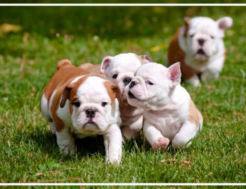 Beyond the Breed: A Glimpse at Canine Genetics