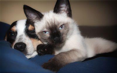 siamese cat snuggling wtih puppy
