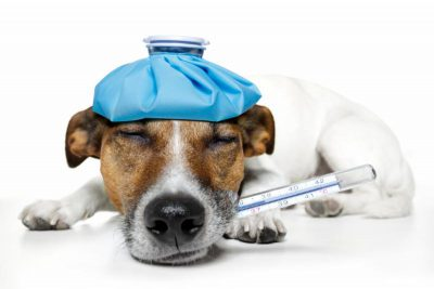 dog with thermometer in mouth
