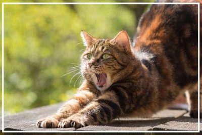 cat stretching and yawning