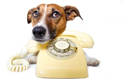 dog waiting by phone